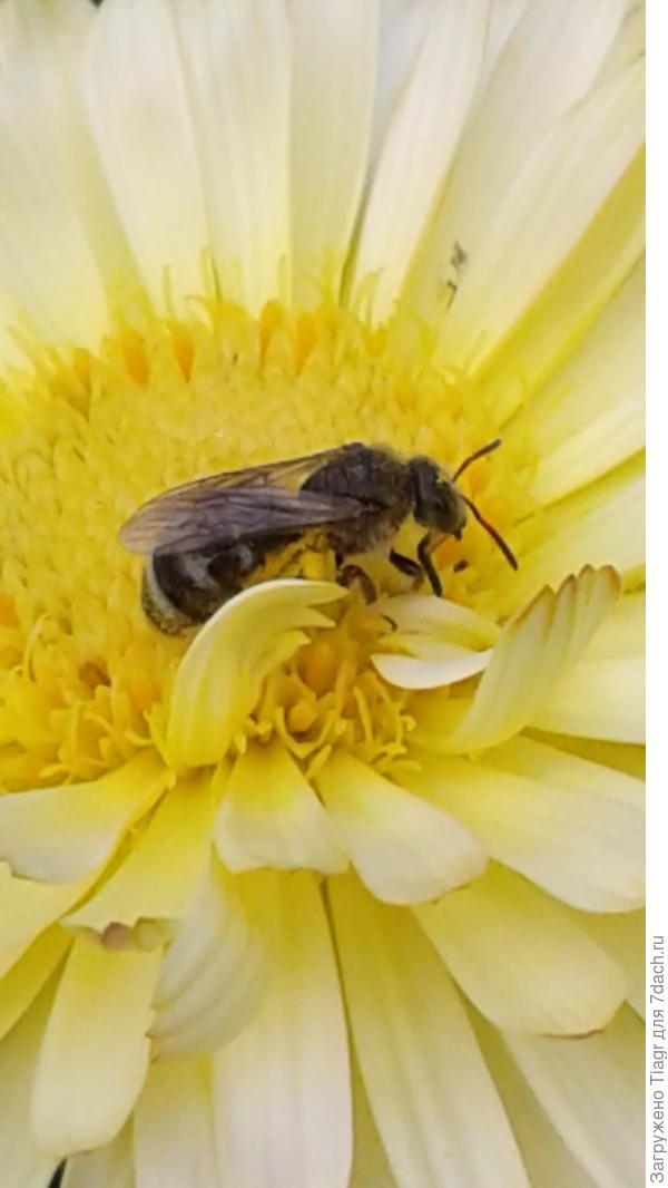 Трудится пчёлка