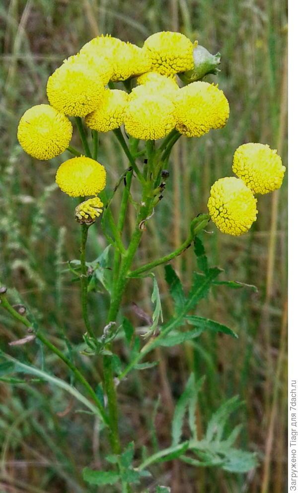 Жёлтые цветочные корзинки собраны в густые соцветия