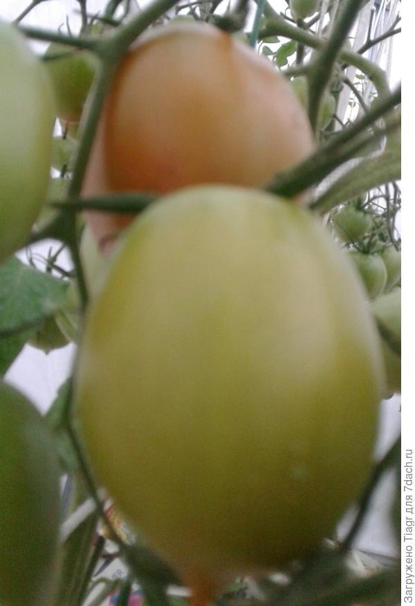 Собрала бурые и красные помидоры