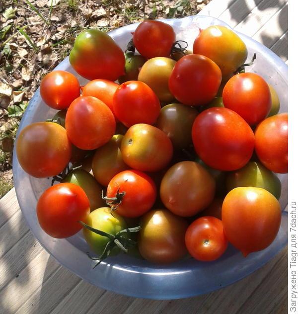 """Сегодня собрала часть помидоров в теплице  """"Сибирский агроном"""""""