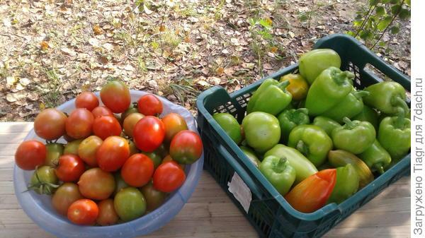 Помидоры и перцы - сбор урожая 10 сентября.