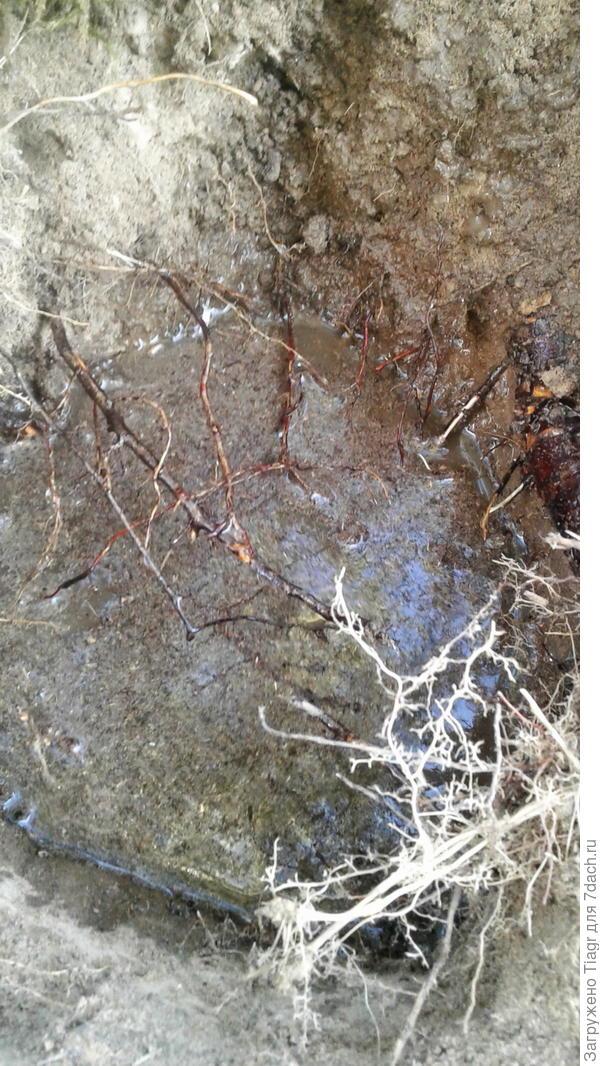 котлован меж берёзовых корней
