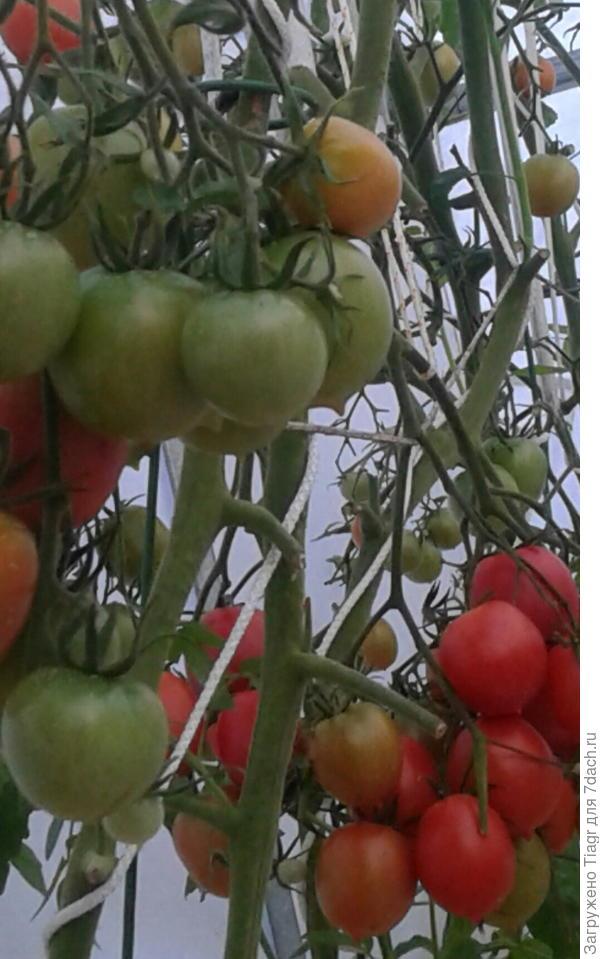 томаты налились