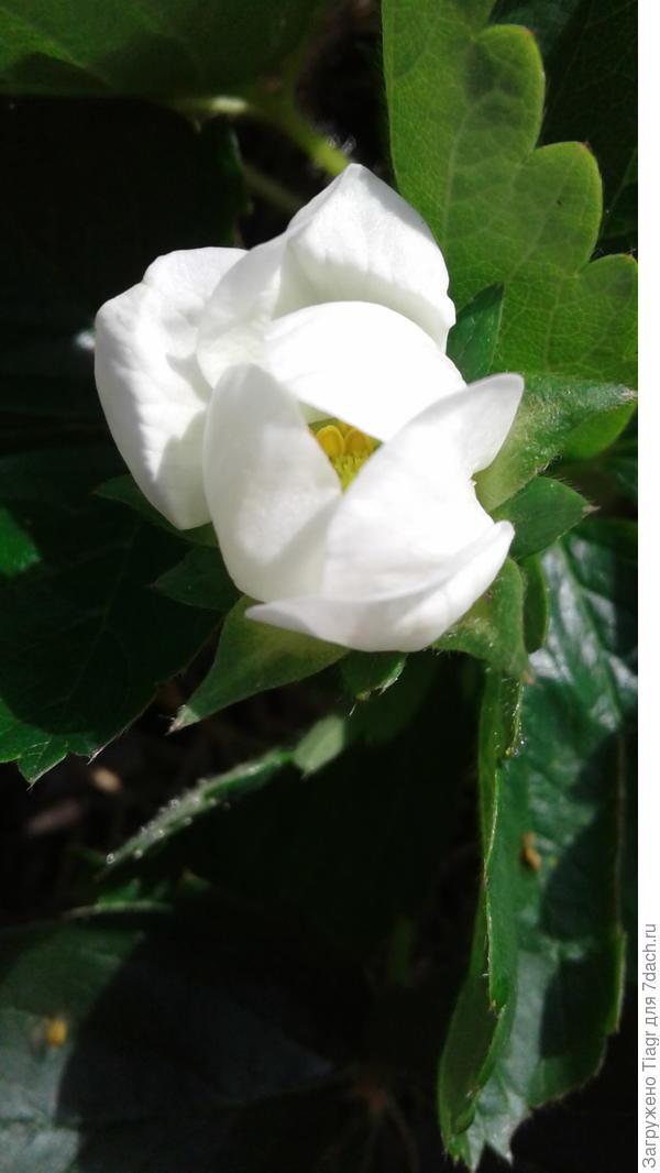 Спустя четыре месяца после всходов земляника порадовала первым очаровательным цветком.