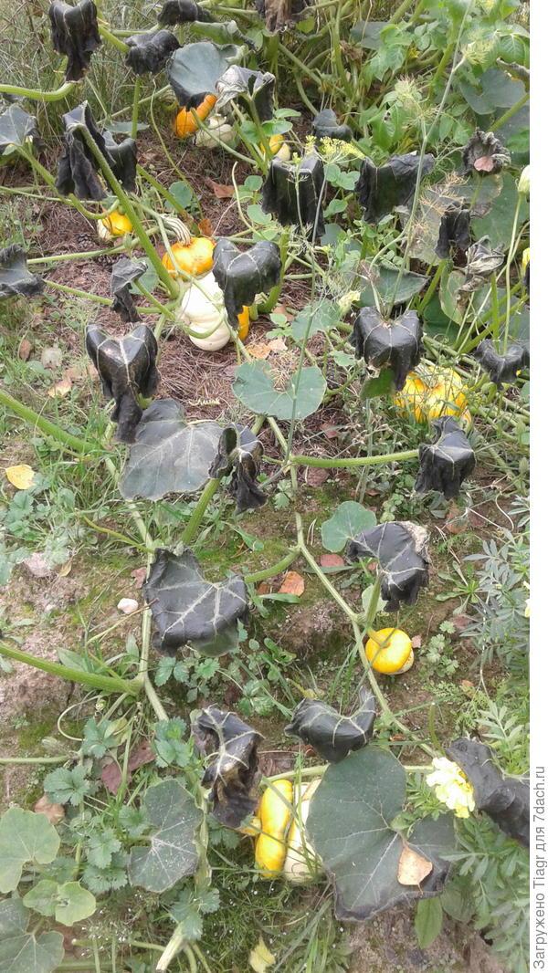 Почернели листья тыковок