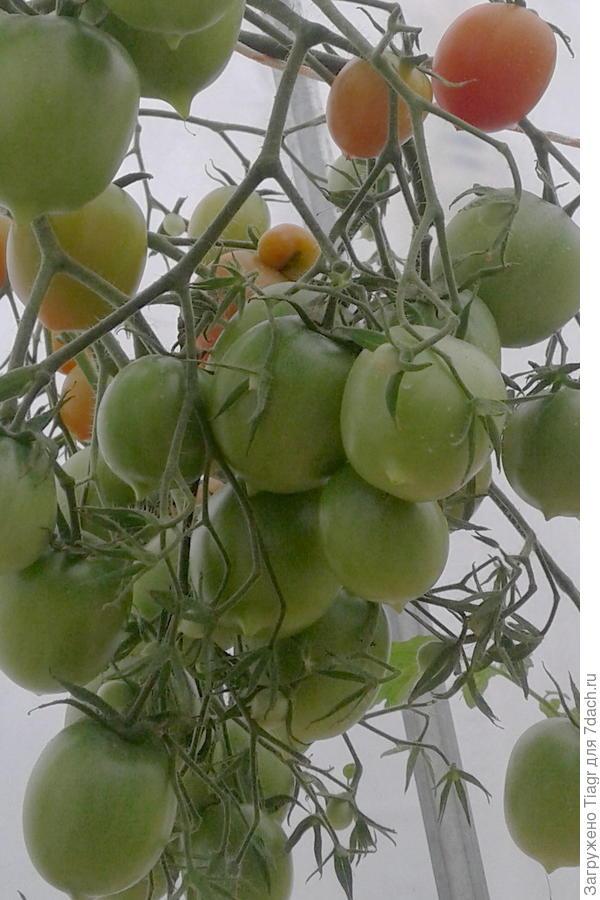 Наливаются плоды