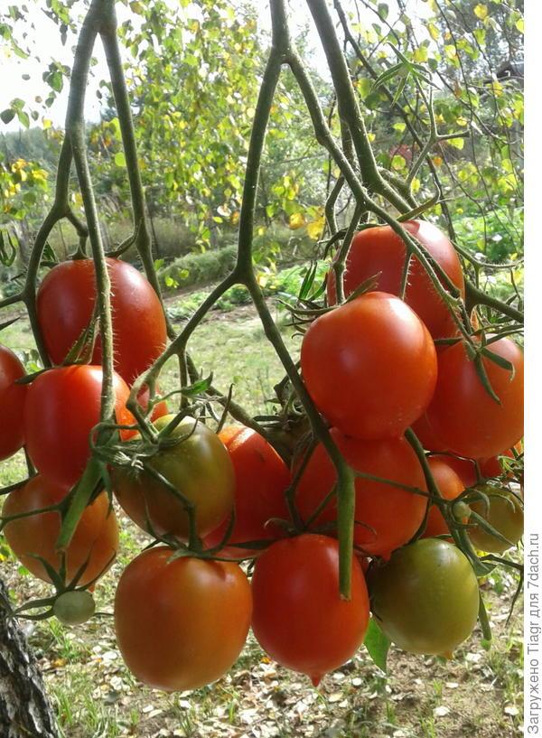 Крон принц - сорт томатов