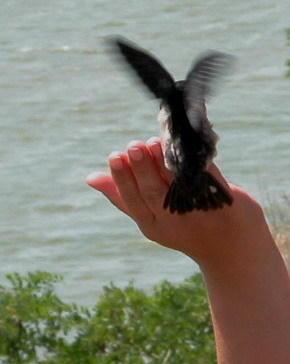 птенец ласточки на моей руке