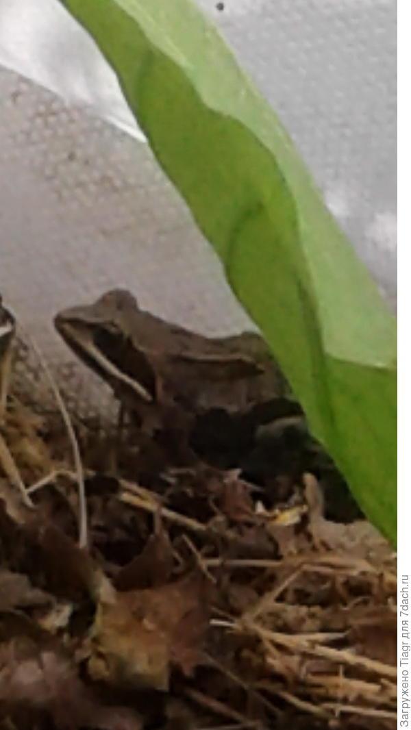 травяной лягушонок