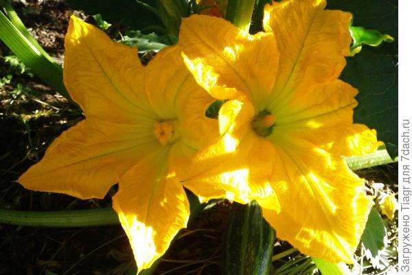 """""""Семейная пара"""". Цветёт кабачок: женский цветок слева; мужской - справа"""