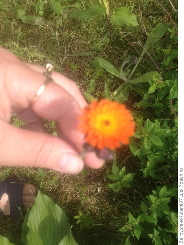 Первый цветок . На стебле несколько бутонов, раскрываются постепенно