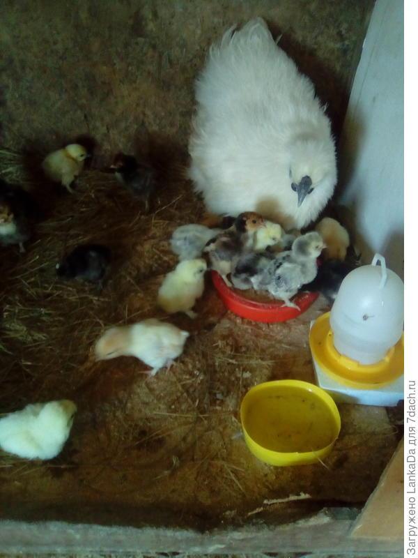 Кит шелк.абориген с подкидышами:павловскими цыплятами.