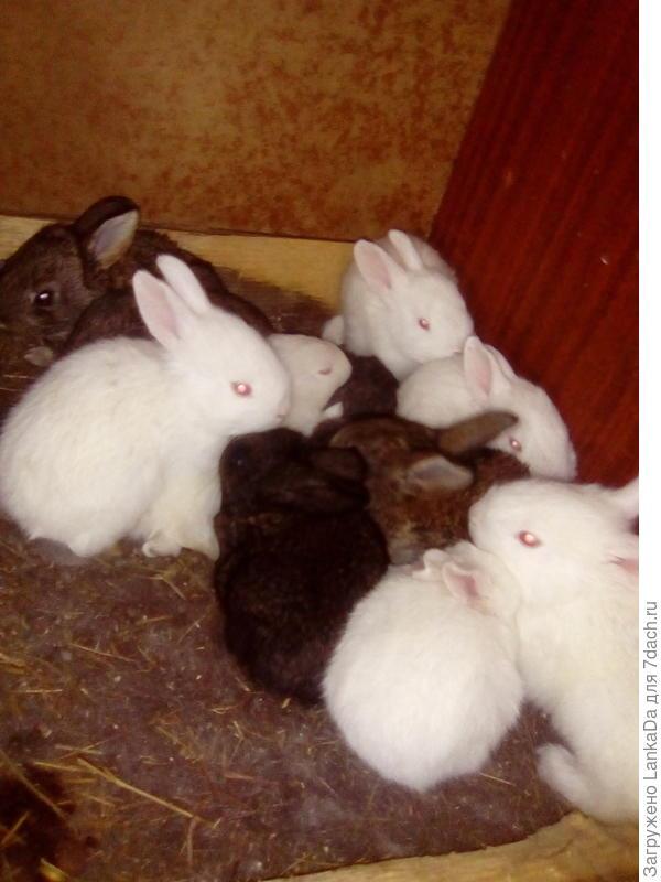 Пополнение. Кролики простые,деревенские.
