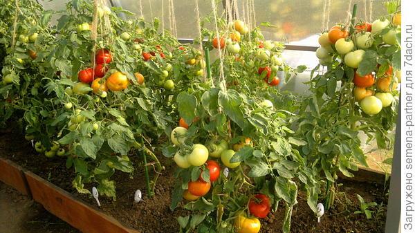 Это наши томаты в прошлом году, когда мы поняли, что без хороших кольев не обойтись:)