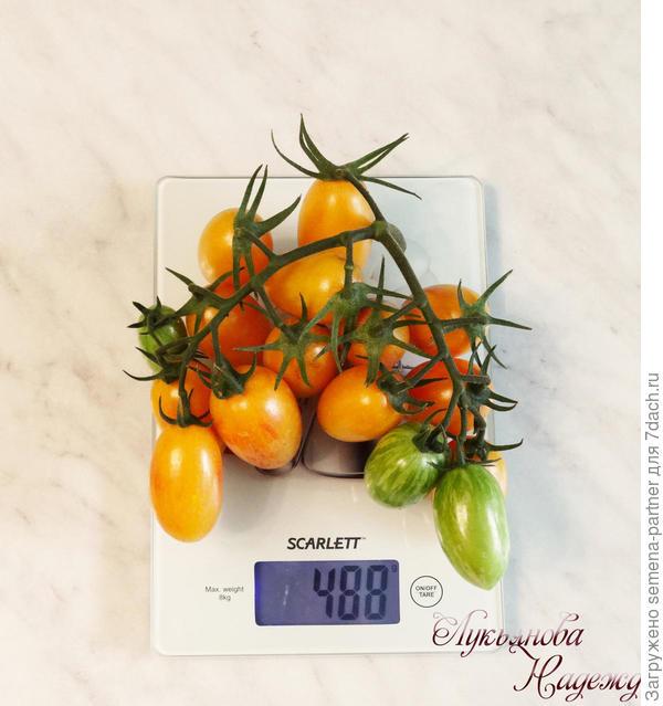 Самая урожайная кисть томата Котя F1 488 г