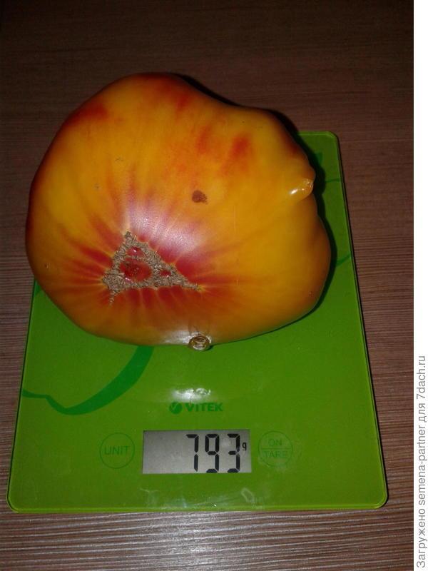Вес самого крупного плода Сокровище инков 793  г