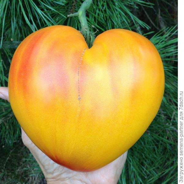 Видео взвешивания этого прекрасного плода можно посмотреть в аккаунте автора Инстаграм
