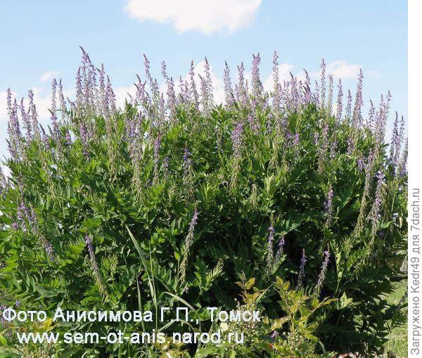 растений фото восточно лекарственных