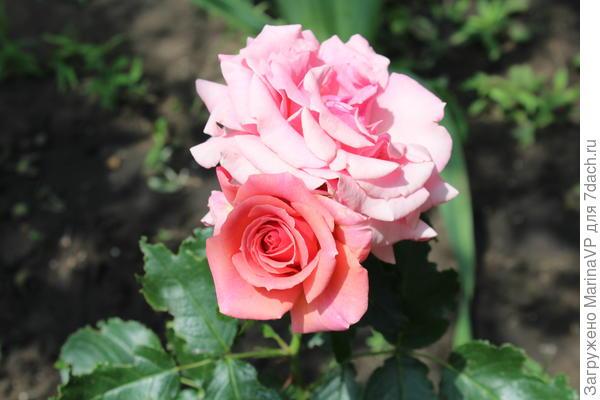 Это моя первая роза. Осенью посадила еще три. Были сильные морозы без снега волнуюсь за них.