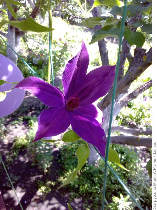 Клематис тоже порадовал своим цветением.