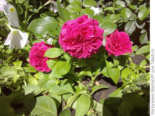 "Роза ""Красная шапочка"" тоже цвела первый раз."