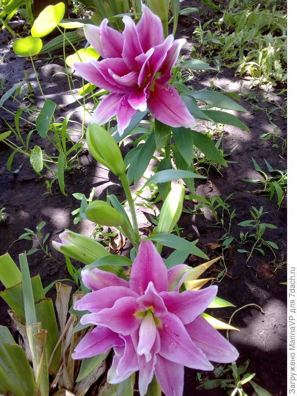 Махровая лилия цвела первый раз.