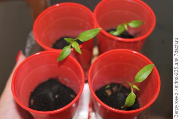 На 20 марта все семечки взошли,одно правда только сегодня решило это сделать)