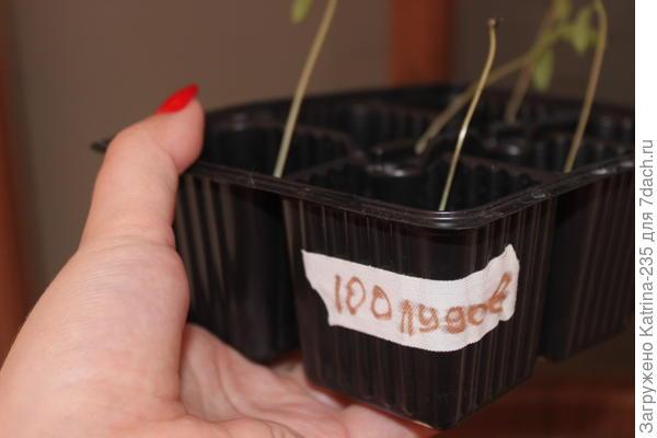 Опыт в выращивании есть,очень ими была довольна. пока 11 из 12, полный синхрон,но я уверена ,что и 12 появится)