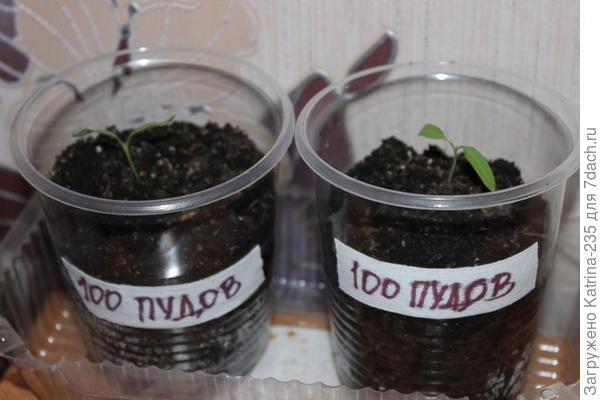 И после пикировки у меня 7 Сто Пудовых растений, идем дальше.5 из грунта+2 из таблетки