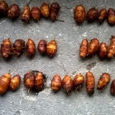 орешки чуфы