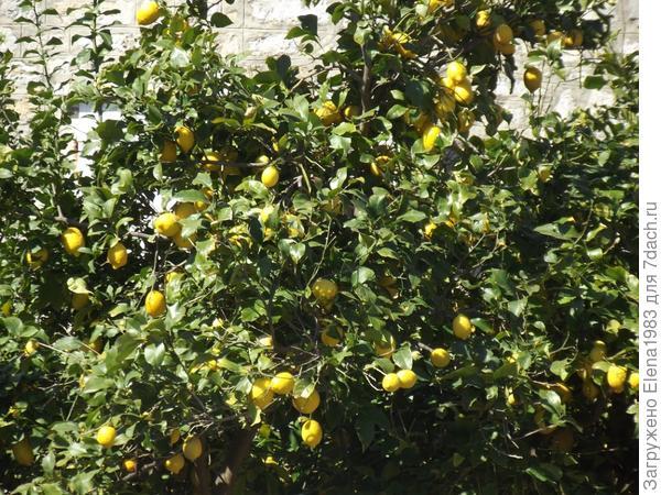 а это лимоны,  в марте 2014г