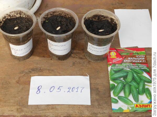 огурец малышки -хрустишки посев семян