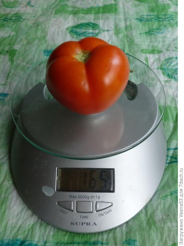 Самый крупный томат с куста Любаши F1, 27 августа 2017г.