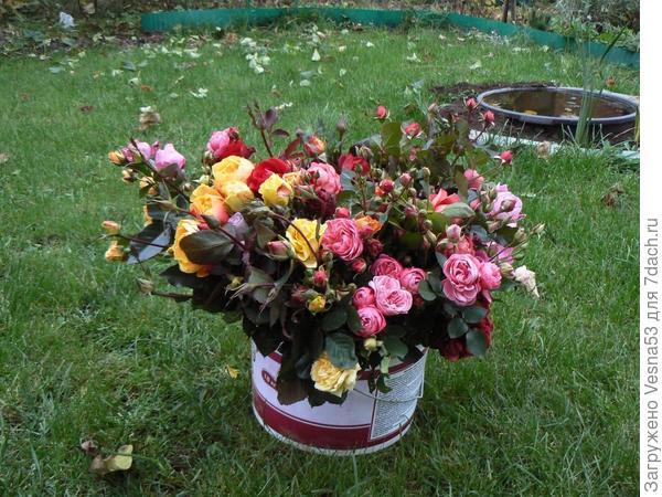 Розы, обрезанные перед укрытием на зиму, конец октября 2011г.
