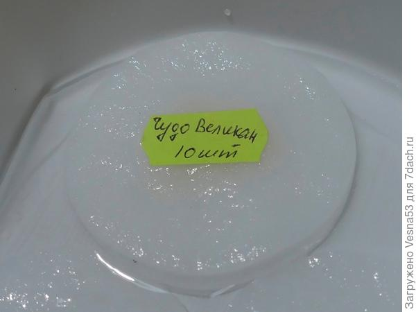 Пометка замоченных семян этикеткой с наименованием сорта