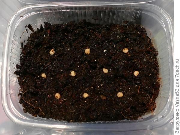 Посев. Семена разложены на поверхности увлажненного грунта