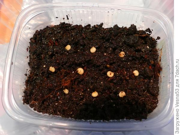 Семена на поверхности увлажненной почвы.