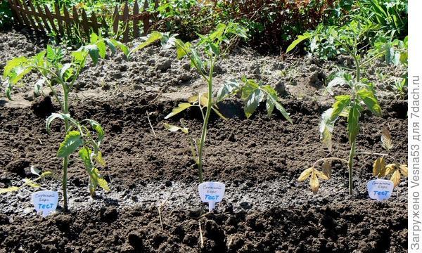13 мая. Томат Снежный Барс, растения сразу после пересадки в грунт.