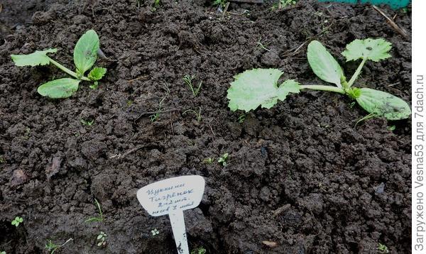 20 мая. Кабачок цуккини Тигренок. Растения после прореживания.