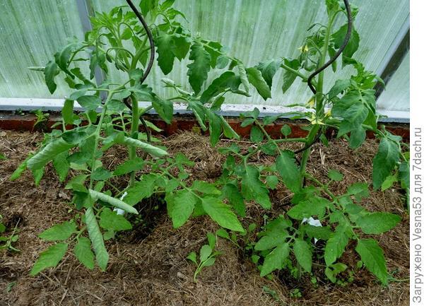 20 мая. Томат 100% F1. Два растения, участвующие в тестировании.