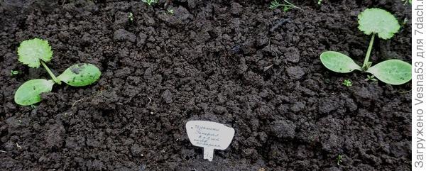 20 мая. Кабачок цуккини Генерал. Растения после прореживания.