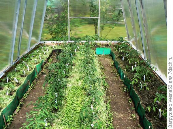 13 мая, томаты в теплице.