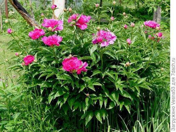 Первые цветы пиона, 3 июня