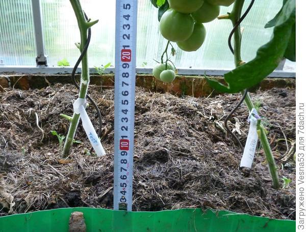 26 июня. Томат 100%F1, нижняя часть кустов, листья до первой кисти обрезаны.
