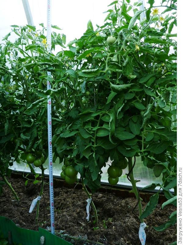26 июня. Томат Лирика F1, состояние растений и размер кустов.