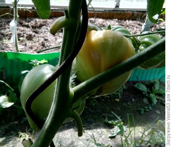 30 июня, Сокровище Инков F1, вид с середины грядки. Первый поспевающий плод.