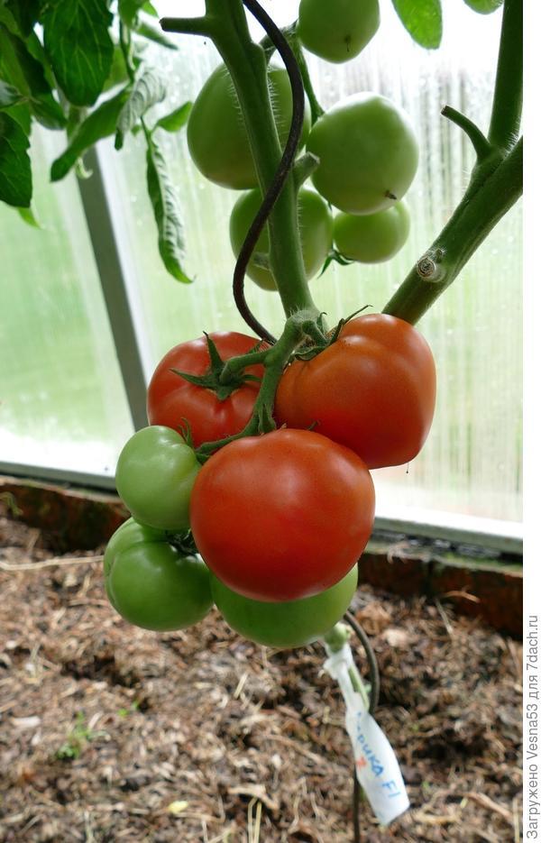 8 июля. Томат Лирика F1 (куст №2) с поспевшими плодами перед съемом.