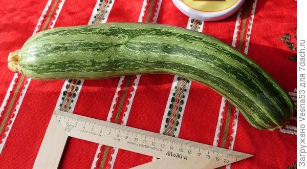 Кабачок Тигрёнок, второй плод. Измерение длины