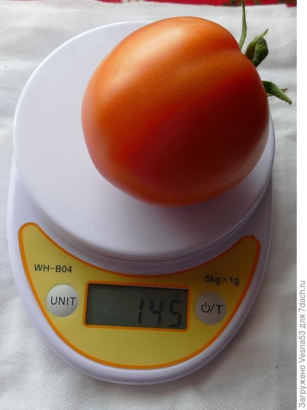 12 июля. Томат Лирика F1, плод с куста №1 на весах.