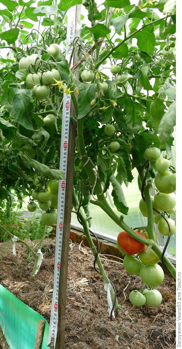 6 июля. Томат 100% F1, первый поспевший плод на кусте.
